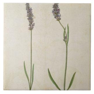 Officinalis de Lavandula (vieille lavande anglaise Grand Carreau Carré