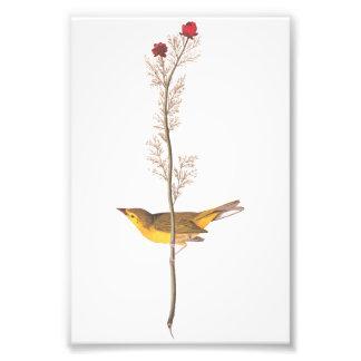 Oiseau vintage du FLYCATCHER de Selby d'art Photographes