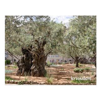 Oliviers dans Gethsemane, Jérusalem, Israël Cartes Postales