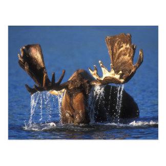 Orignaux de Taureau dans l'étang d'Alaska de Cartes Postales