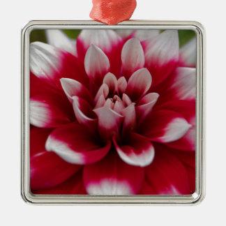 Ornement Carré Argenté Dahlia rouge et blanc (hortensis de dahlia X)