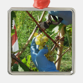 Ornement Carré Argenté Main coupant les raisins blancs, temps de récolte