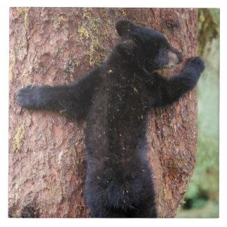 ours noir, Ursus américanus, petit animal dans l'a Grand Carreau Carré
