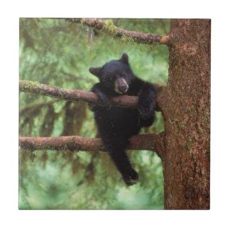 ours noir, Ursus américanus, petit animal dans un Petit Carreau Carré