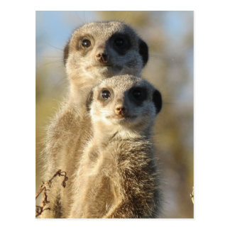 Paires de Meerkats Carte Postale