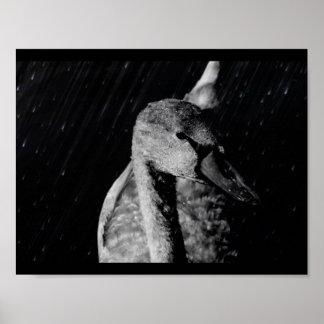 Papier poster (mat) Jeune Cygne Noir/Blanc