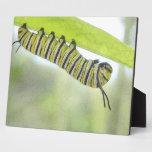 Papillon de monarque Caterpillar explorant un Milk Photo Sur Plaque