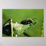 Papillon de monarque Caterpillar Posters