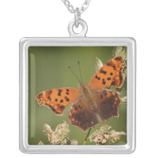Papillon de point d'interrogation, Polygonia Collier
