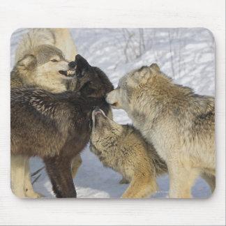 Paquet de loups agissant l'un sur l'autre tapis de souris