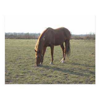 Pâturage des chevaux de châtaigne de ranch carte postale