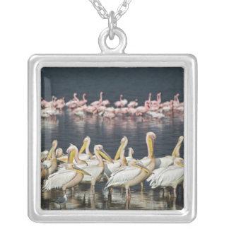 Pélicans blancs, onocrotalus de Pelecanus, lac Collier