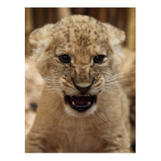 Petit animal de lion grondant carte postale
