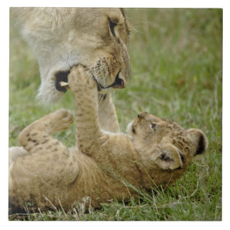 Petit animal de lion jouant avec le lion femelle,  grand carreau carré