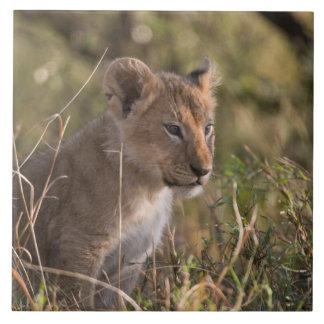 Petit animal de lion (Panthera Lion), ressortissan Grand Carreau Carré