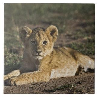Petit animal de lion, Panthera Lion, se situant da Grand Carreau Carré