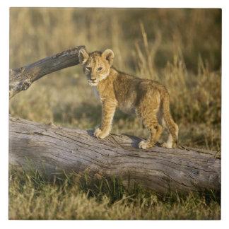Petit animal de lion sur le rondin, Panthera Lion, Grand Carreau Carré