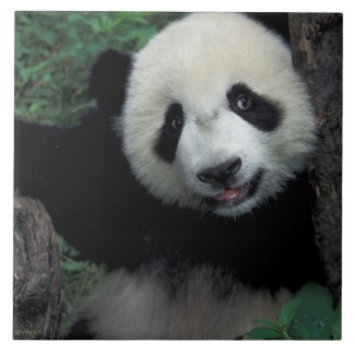 Petit animal de panda avec l'arbre, Wolong, provin Grand Carreau Carré