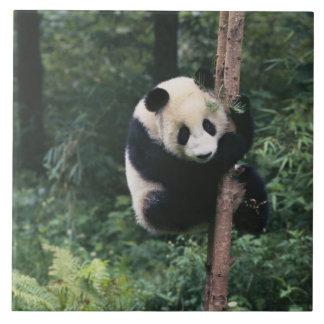 Petit animal de panda grimpant à l'arbre, Wolong,  Grand Carreau Carré