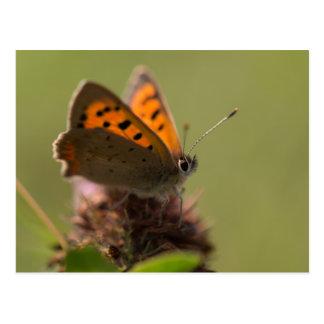 Petit papillon de cuivre carte postale