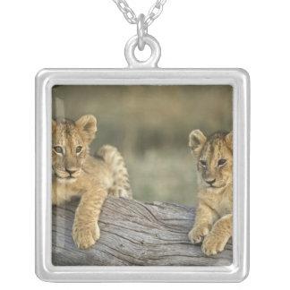 Petits animaux de lion sur le rondin, Panthera Collier