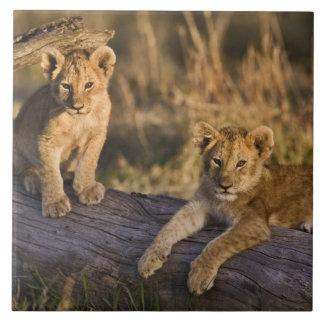Petits animaux de lion sur le rondin, Panthera Lio Grand Carreau Carré