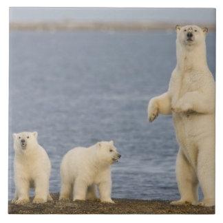 Petits animaux d'ours blanc et leur mère grand carreau carré