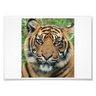 Photo de faune de tigre