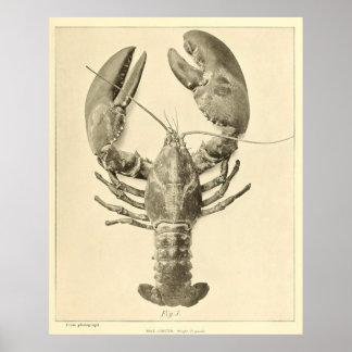 Photographie vintage de homard du Maine (1895)