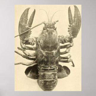 Photographie vintage de homard du Maine (1895) 2