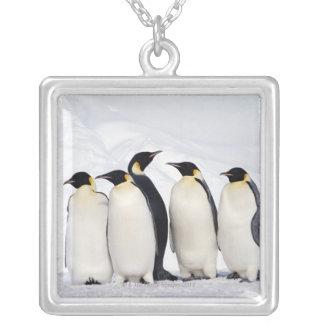 Pingouins d'empereur collier