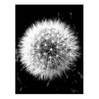 Pissenlit noir et blanc carte postale