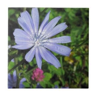 Plan rapproché de fleur bleue de chicorée sur un carreau