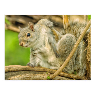 Plan rapproché d'une éraflure d'écureuil de gris carte postale