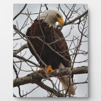 Plaque Photo Eagle chauve