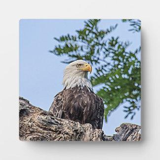Plaque Photo Eagle chauve sur une branche d'arbre