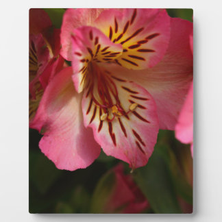 Plaque Photo Lis péruvien (aurea d'Alstroemeria)