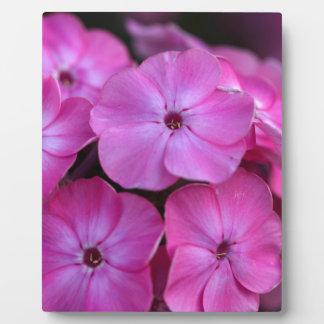 Plaque Photo Phlox de jardin (paniculata de Phlox)