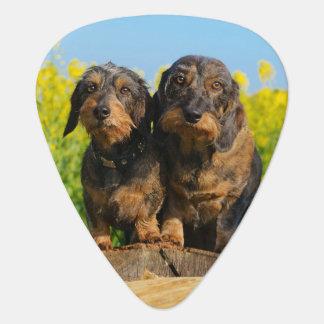 Plectre mignon de photo de Dackel de deux chiens
