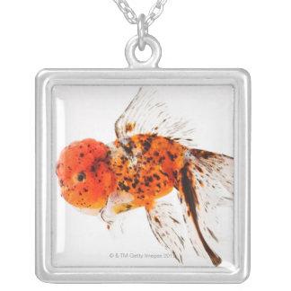 Poisson rouge de lionhead de calicot (auratus de collier