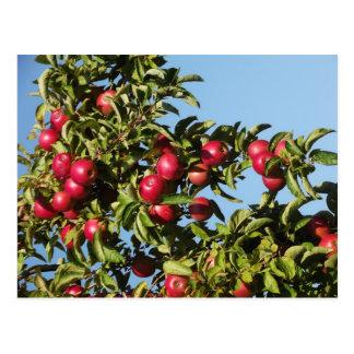 Pommes de Mack Carte Postale