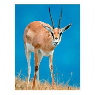 Portrait de brebis de la gazelle de Grant (Gazella Carte Postale