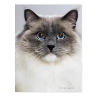 Portrait de chat de Ragdoll Carte Postale