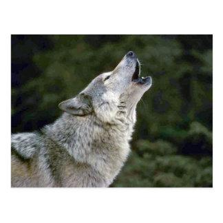 Portrait de photo de loup gris d'hurlement beau carte postale