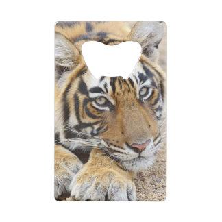 Portrait de tigre de Bengale royal, Ranthambhor 4