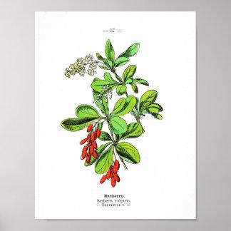 Poster Affiche botanique vintage - berbéris