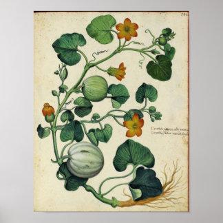Poster Affiche botanique vintage - courge de citrouille