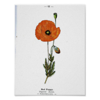 Poster Affiche botanique vintage - fleur rouge de pavot