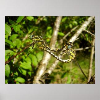 Poster affiche Club-coupée la queue de libellules