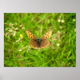 Poster Affiche de cuivre bordée pourpre de papillon